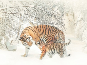The two Arguing tigers moral story,